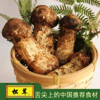 彝山香常年批发新鲜松茸香格里拉野生松茸菌云南特产松耸菌菇5-7不开伞