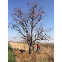 扬帆苗圃供应50公分大柿子树,胸径50公分柿子树