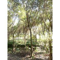江西小叶榕耐寒树,江西小叶榕12公分