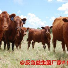 牛粪便里有精料颗粒肉牛益生菌治疗过料