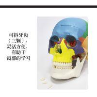 1:1 仿真可拆卸口腔头骨模型功能分区 成人彩色头骨模型