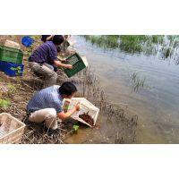 小龙虾苗批发龙虾苗养殖基地现在种虾价格