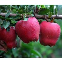 花牛苹果苗 花牛苹果树苗价格