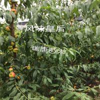 泰安瑞康苗木供应风味皇后蟠桃树苗