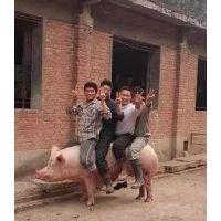 猪是人们熟悉脆皮烤猪引爆人们舌尖新美味