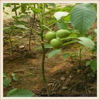 银田苗圃基地供应嫁接核桃树苗8518核桃树苗当年结果