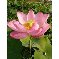 湿地荷花种苗价格最低找境美水生植物18833230022