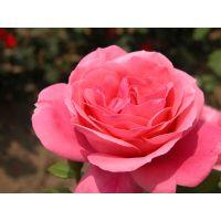 批发80公分蔷薇价格江苏1米高大花蔷薇产地价格