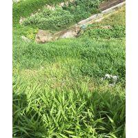 专供重庆河道水库边坡绿化草种花籽灌木种子销售