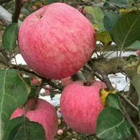哪里红富士苹果便宜质量好 红富士苹果上车价格