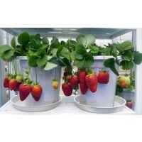 pvc草莓立体种植栽培-技术创新-增产增效-河北安平