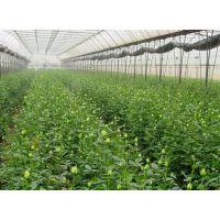 厂家定做日光温室大棚、日光温室、青州瑞青
