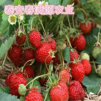 法兰地草莓苗网定