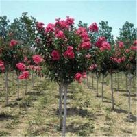 志森园艺6厘米樱花树价格 6厘米晚樱樱花树批发基地 质优价廉
