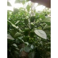 有效控制辣椒生长的方法 肥胖墩辣椒专用 控旺效果好