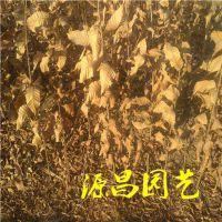 云南哪里有板栗苗卖 价格是多少 源昌苗圃批发