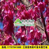 台湾钟樱花 大红樱花 樱花 樱花观光园 进口樱花 樱花盆景苗