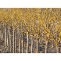 黄槐原产地 提供4公分5公分6公分7公分8公分黄槐价格参考