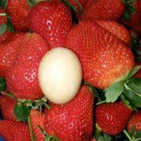 基地批发日本丰香草莓苗 早熟果大的草莓苗品种