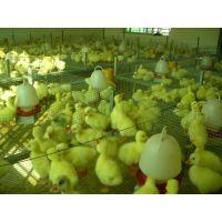 鹅苗,大三花品种鹅苗批发,河南家禽鹅苗孵化厂,南阳鹅苗