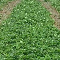 四季草莓苗批发市场 去哪买草莓苗