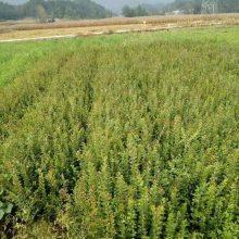 供应紫薇树苗、紫薇苗价格、株高30-1米2、地径0.2-0.8公分