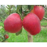 鲁丽苹果树苗