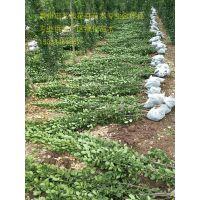 小区绿化苗木种植基地地被灌木基地一手供应