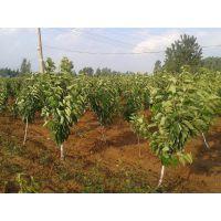 基地直销3公分吉塞拉矮化樱桃树苗