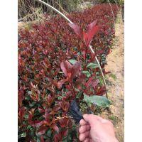 农家自产直销红叶石楠价格为1元