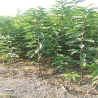 信森农业科技樱桃苗品种黑珍珠 黑珍珠樱桃苗产地价格