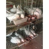 郑州鸽子场 鸽子价格 种鸽价格 鸽子图片