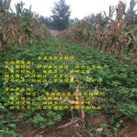 红颜草莓苗栽培