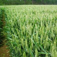 小麦种子(致胜5号)抗病性突出、茎秆坚韧、弹性好,抗倒伏能力突出