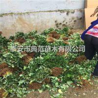 雪里香草莓苗价格 雪里香草莓苗 优质新品种