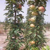 红富士苹果苗优质
