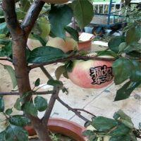 k12苹果苗