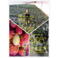 红颜草莓苗批发价格行情