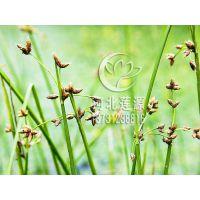 供应藨草,水生植物种苗,白洋淀水生植物基地,藨草苗