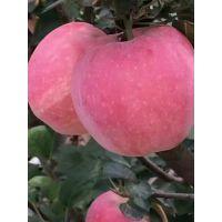烟富3号苹果苗新价格 烟富3号苹果苗品种特点