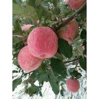 山东红富士苹果产地在哪里 现在红富士苹果多少钱一斤