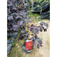 福建红花檵木批发,福建红花继木品种多规格齐全 质优价廉 农户直销