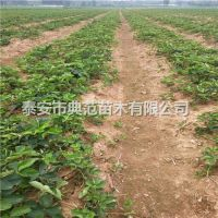巨星草莓苗批发 巨星草莓苗品种介绍