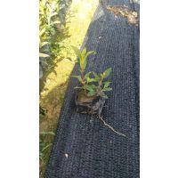 供应福建巴西野牡丹假植袋苗 物美价廉