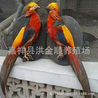 活体红腹锦鸡养殖 成年红腹锦鸡标本出售 山鸡标本摆件价格
