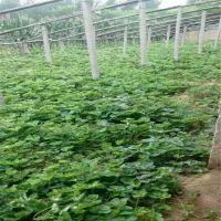 志森园艺脱毒二代草莓苗批发 妙香草莓苗厂家