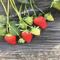 基地常年培育适合南方草莓苗久能早生 女峰 红颜脱毒二代草莓苗