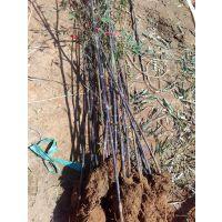 长治 临汾 晋城地区竹子供应商 出售园林景观竹子 小区观赏竹子 公路绿化竹子