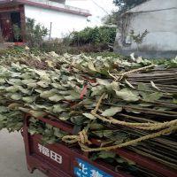 1米高苹果树苗价格低廉 品种齐全 山东苹果苗种植基地直销