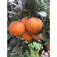 濑户见 柑桔苗 柑橘苗 种植苗